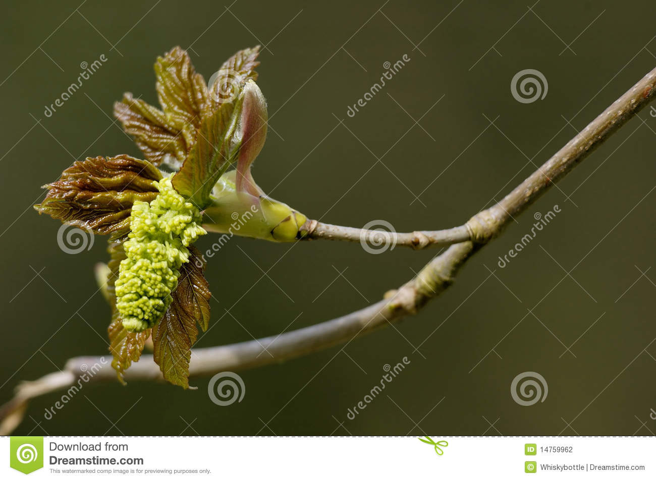Sycamore Flower.