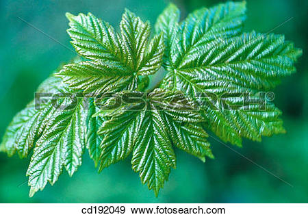 Stock Photograph of Sycomore (Acer pseudoplatanus) cd192049.