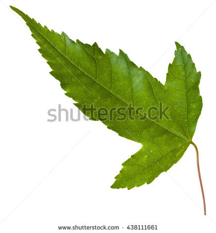 Acer Tataricum Clipart 20 Free Cliparts Download Images On