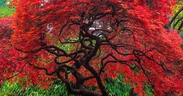 Flame Amure Maple Tree Seeds (ACER tataricum ginnala) 15+Seeds.