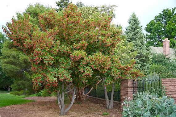 50 Tatarian Maple Tree Seeds Acer tataricum.