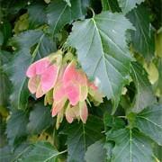 Acer tataricum subsp. ginnala Amur maple Crimson.