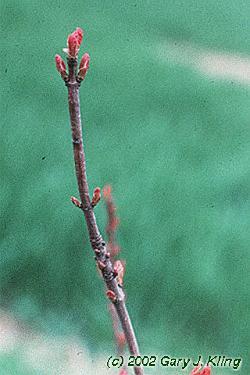 Acer tataricum subsp. ginnala habit: UIPLANTS.