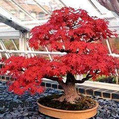 Acer tataricum ssp. ginnala Flame Bonsai.