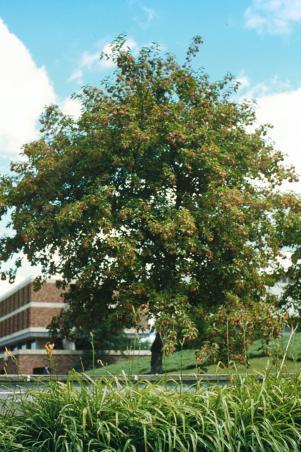 Acer tataricum Amur Maple.