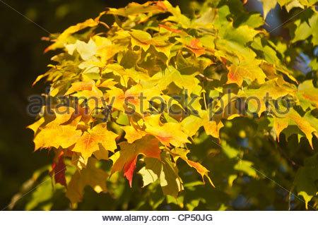Aceraceae Stock Photos & Aceraceae Stock Images.