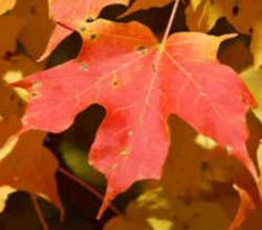 New York State Tree: Sugar Maple.