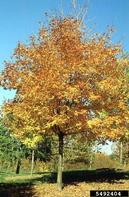 Black maple, Acer nigrum fall color (Sapindales: Aceraceae.
