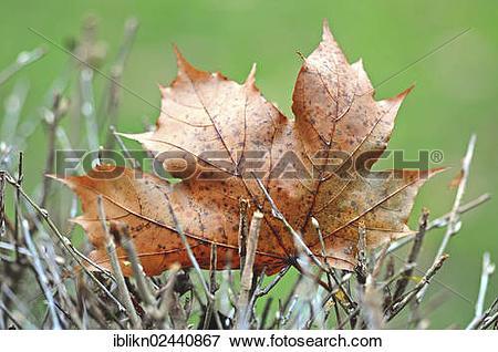 Picture of Maple (Aceraceae) leaf in autumn iblikn02440867.