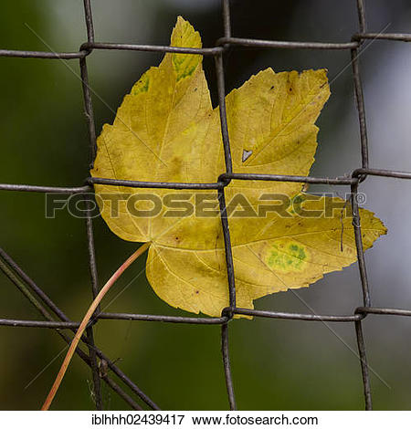 """Picture of """"Maple leaf (Aceraceae), stuck to a fence, autumn."""