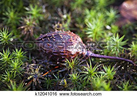Stock Images of Beechnut.