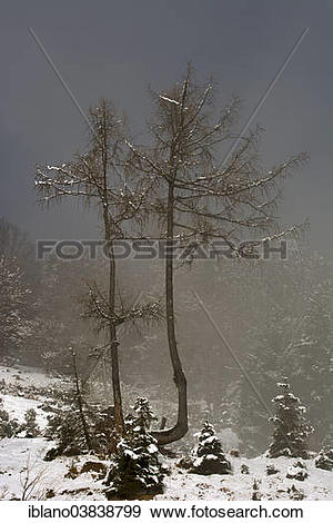 "Stock Photograph of ""European larches (Larix decidua) in fog in."
