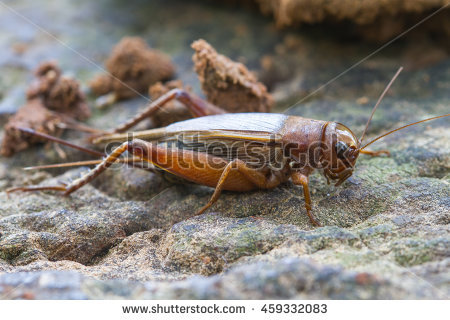 Acheta Domesticus Stock Photos, Royalty.