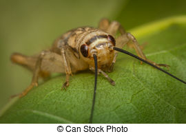 Stock Images of Close up House cricket (Acheta domestica) in.