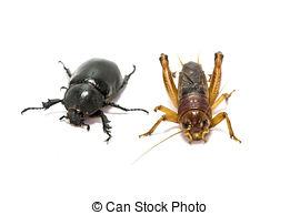 Picture of acheta domesticus larvae close up csp0590057.