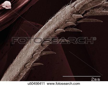 Stock Photography of Coloured SEM of house cricket (Acheta.