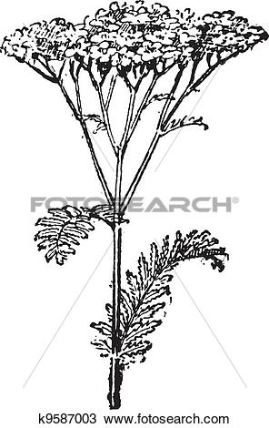 Clipart of Common Yarrow or Achillea millefolium, vintage.