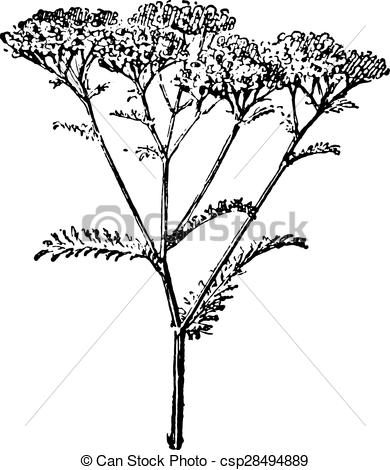 Vector of Yarrow or Achillea millefolium, vintage engraving.