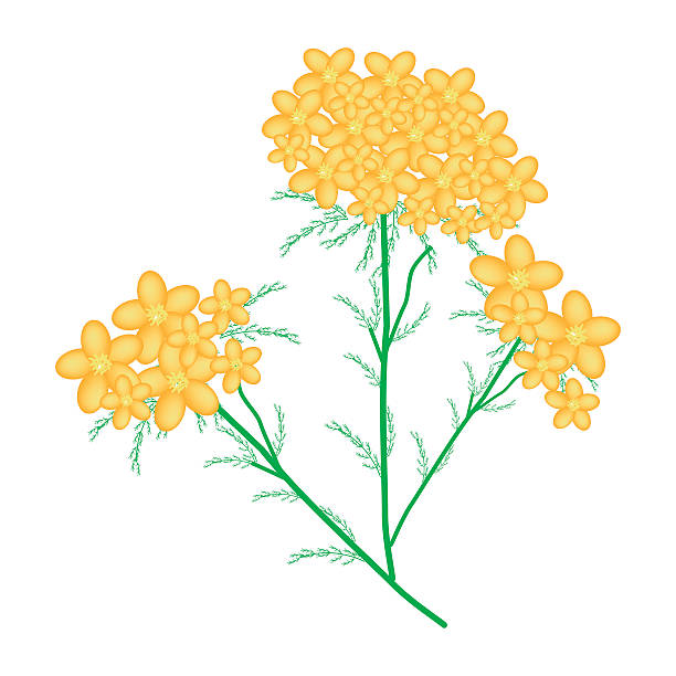 Clip Art Of A Yarrow Clip Art, Vector Images & Illustrations.