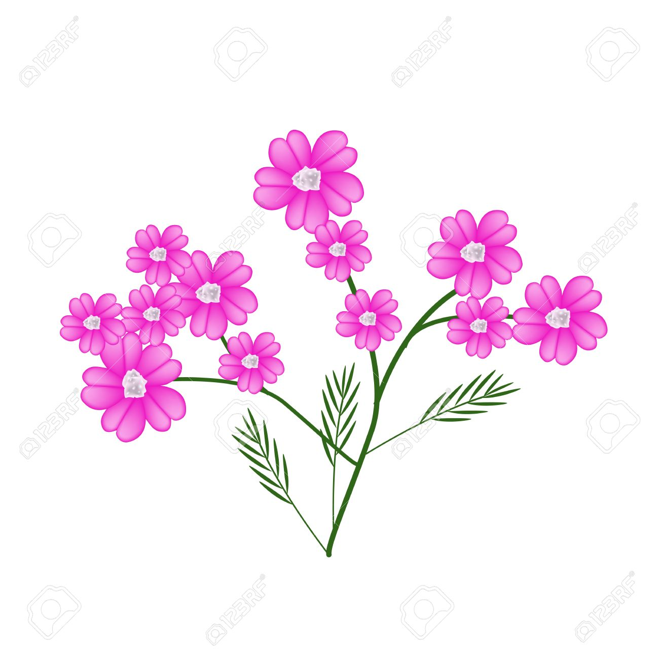 Beautiful Flower, Illustration Of Pink Yarrow Flowers Or Achillea.