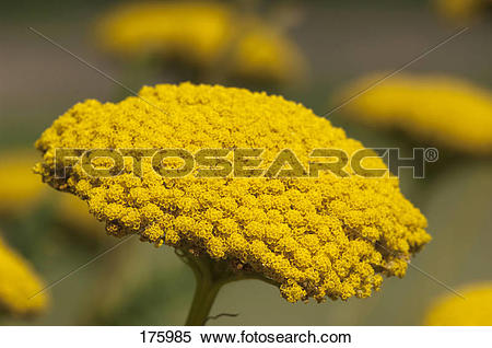 Stock Image of Fernleaf Yarrow (Achillea filipendulina.
