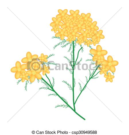 Vector of Yellow Yarrow or Achillea Millefolium Flowers.