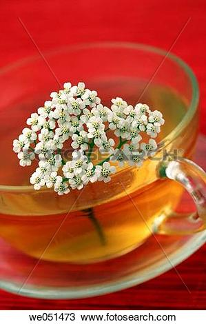 Stock Photo of Yarrow tea (Achillea millefolium) we051473.