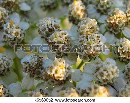 Stock Photo of Yarrow Blossom (Achillea millefolium) k6560052.