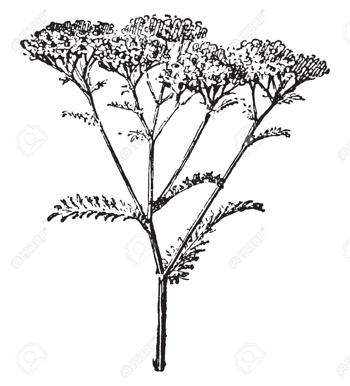 Yarrow Or Achillea Millefolium, Vintage Engraved Illustration.