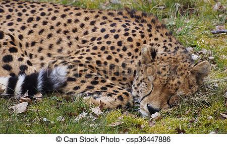 Pictures of Cheetah (Acinonyx jubatus jubatus).