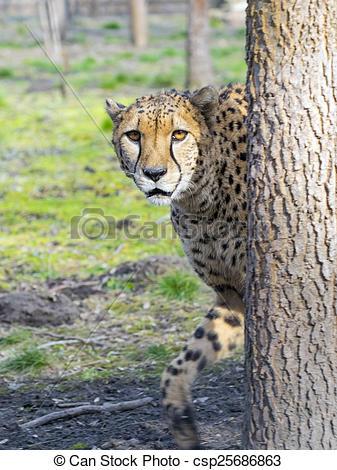 Stock Image of Cheetah (Acinonyx jubatus) is walking in a forest.