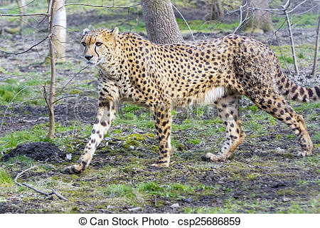 Stock Images of Cheetah (Acinonyx jubatus) is walking in a forest.