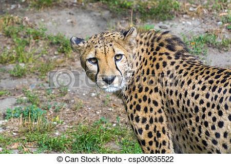 Stock Photo of Cheetah (Acinonyx jubatus).