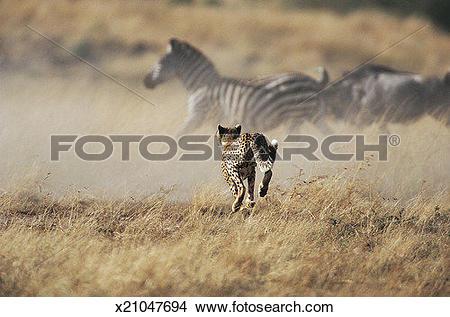 Stock Photo of Cheetah (Acinonyx jubatus) Hunting Zebra and.