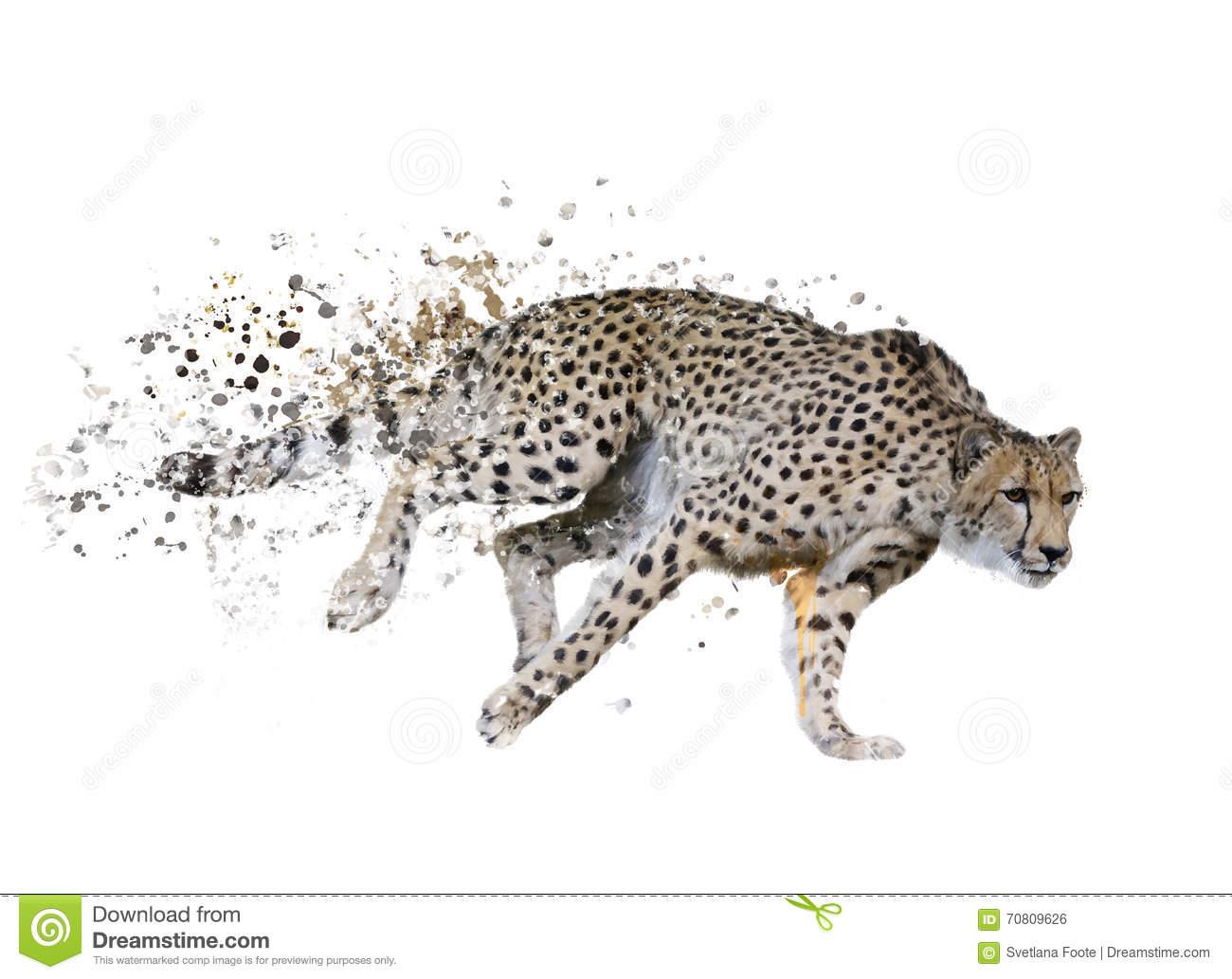 Cheetah Acinonyx Jubatus Stock Illustrations.