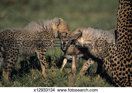 Stock Photo of Cheetah (Acinonyx jubatus) and spotted hyenas.
