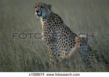Stock Photo of Cheetah cub (Acinonyx jubatus) sitting besides.
