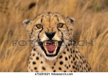 Cheetah Growling Clipart.