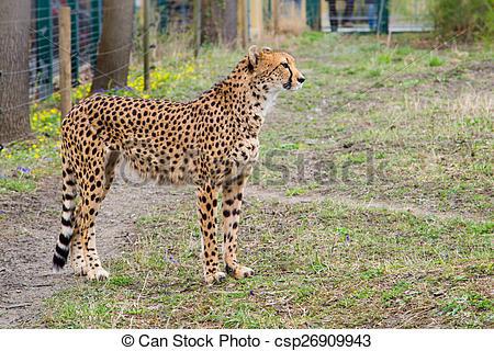 Stock Photo of Cheetah Gepard, Acinonyx jubatus standing on green.