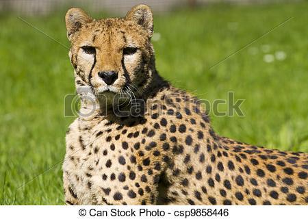 Stock Image of Cheetah, Acinonyx jubatus.