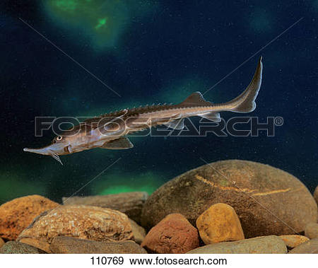 Stock Photograph of young sterlet / Acipenser ruthenus 110769.