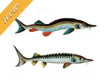 clipart fishes.