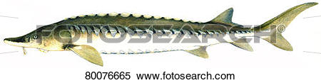 Stock Image of European Sea Sturgeon, Common Sturgeon, Baltic.