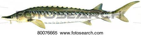 Stock Image of European Sea Sturgeon, Common Sturgeon, Baltic.