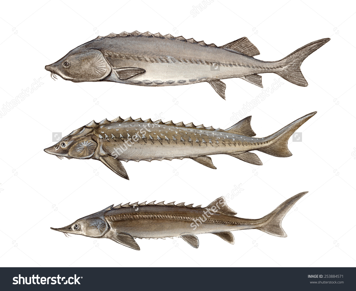Beluga Huso Huso Russian Sturgeon Acipenser Stock Illustration.