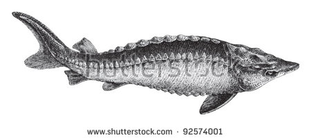 Sturgeon Fish Stock Photos, Royalty.