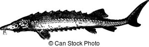 Acipenseridae Vector Clip Art EPS Images. 4 Acipenseridae clipart.