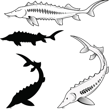 Sturgeon Clip Art, Vector Images & Illustrations.