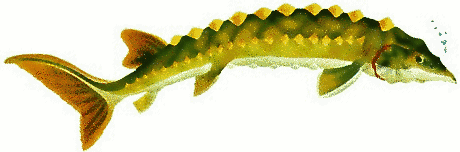 Free Sturgeon Clipart, 1 page of free to use images.