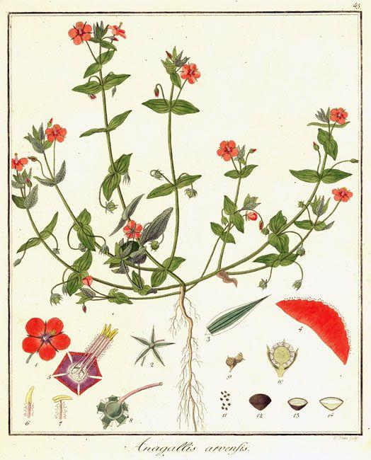 Pimpernel (8 am) anagallis monelli illustration.
